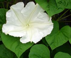 Tropical Moonflower Vine, start from seeds, (one will do it!)  Will take over, but just for the summer.  You can literally watch it unfold around 4 or 5 pm. Plant where you can see & smell it in the evening.