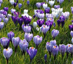 Crocus in Lavender Shades. I want to plant these all over my lawn to watch them peek out in the spring.