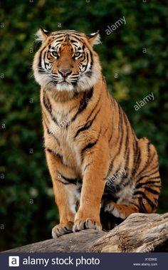 Tiger Images, Tiger Pictures, Big Cats, Cool Cats, Tiger Photography, Tiger Artwork, Wild Animals Photos, Cute Tigers, Tiger Design