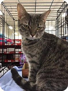 Fenton, MO - Domestic Shorthair. Meet Charlotte, a cat for adoption. http://www.adoptapet.com/pet/13221512-fenton-missouri-cat