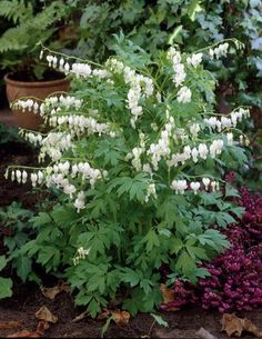 Bleeding Heart Alba or Dutchmans Breeches (Dicentra spectabilis) Backyard Shade, Shade Garden, Garden Plants, Shade Perennials, Flowers Perennials, Planting Flowers, Shade Plants, Plant Pictures, Garden Pictures