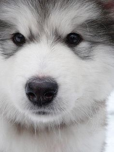 This Beautiful Alaskan Malamute could be our sweat little girl....she is my cuddle buddy and always there for a soft hug!