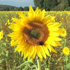 turquoise.l_o_v_e #morgenspaziergang . . . #sunflower #sonnenblume #sonnenblumen #sunflowers #hummel #bumblebee #morningwalk #dogwalking Dog Walking, Indie, Sew, Turquoise, Craft, Instagram, Dogs, Plants, Pictures