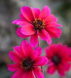 30 Dahlias Ideas Dahlia Plants Flowers