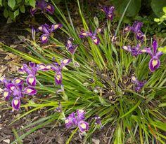 Pacific Coast Native Iris (PCN Iris), perennial, small under 3', dry with shade