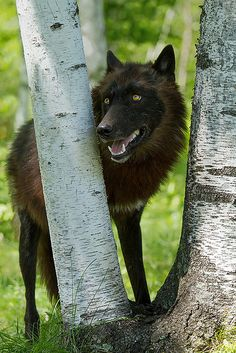 ☀Black wolf by debbie_dicarlo on Flickr*