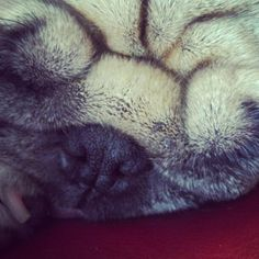 Super close-up of pug  (S)
