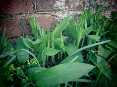 Lilies of the Valley are on their way Lily Of The Valley, Lilies, Vegetables, Floral, Plants, Image, Vegetable Recipes, Plant, Irises