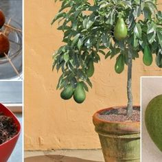 Stop buying avocados, because there is a simple method of growing an avocado tree in a small pot at home.Therefore grow an avocado tree at home, so you will save your health and your money at the same time . Fruit Vert, Green Fruit, Herbal Remedies, Home Remedies, Natural Remedies, Growing An Avocado Tree, Grow Avocado From Pit, Comment Planter