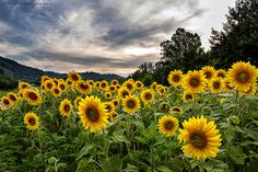 Sunflower summer in Western North Carolina. Courtesy of Aaron Morgan. Sunflower Garden, Western North Carolina, Mountain Vacations, Great Smoky Mountains, National Parks, Beautiful Places, Backyard, Plants, Photography