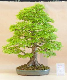 Looks like some kind of a maple tree.
