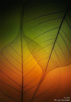 Bodhi Tree (Ficus Religiosa) leaves  © Luigi Benedetti  More sublime photos: http://fb.com/onexposure — with Luigi Benedetti.