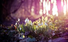 2560x1600 Wallpaper spring, snowdrops, flowers, wood, first
