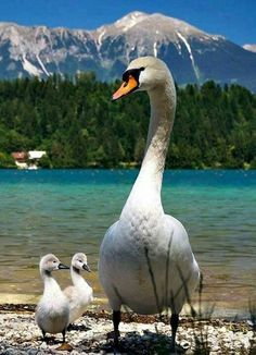 Make one special photo charms for your pets, 100% compatible with your Pandora bracelets. Swan with cygnets bionto.com