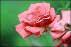 """""""Beauty without virtue is like a rose without scent."""""""