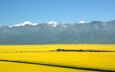 Los 10 destinos favoritos de los amantes de las flores (8) Mar de coliflores en Menyuan, Qinghai  En julio, en Menyuan, la montaña Qilian queda rodeada por un mar de oro. En la meseta de Qinghai, el cielo azul, las nubes blancas y montañas cubiertas de nieve, forman junto con las coliflores una hermosa imagen. Este campo con más de 66.667 hectáreas en el oeste de China atrae a muchos visitantes. (Editor:RosaLiu、Rocío Huang)