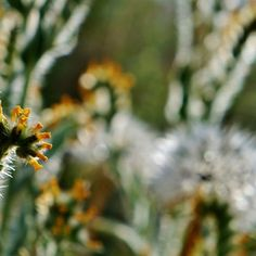 Fiddleneck by Nalinne Jones. Curled amsinckia, or Fiddleneck, with sunlight shining through it's tiny hairs and a delicate spiderweb, with a white puffy flower in the background, found at the Antelope Valley Poppy Reserve, Spring 2015.