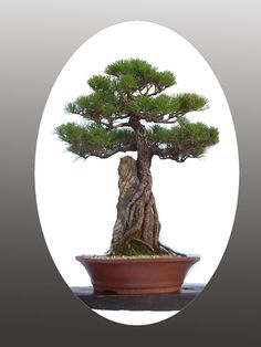 Nogak trees