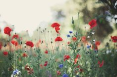 for the love of poppies ii by the cheshire smile, via Flickr