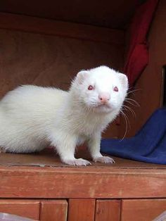 Albino ferret available in Baxter TN Baby Ferrets, Funny Ferrets, Amazing Animals, Animals Beautiful, Rare Albino Animals, Fauna, Beautiful Creatures, Animal Photography, Animal Kingdom