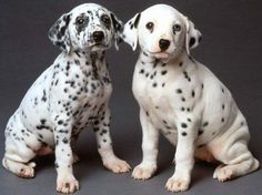 dalmation dog photo | dalmatian puppies the dalmatian ability to learn quickly could be