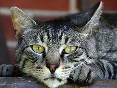 Descubre la raza de gato europeo de pelo corto