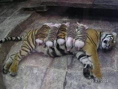 a tiger's babies died, and she was sad - so the zoo gave her piglets in tiger pajamas….all better!