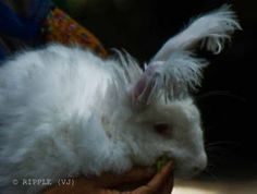 german angora rabbit....