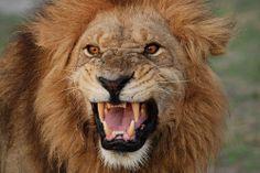 Lion Tanzania safaris