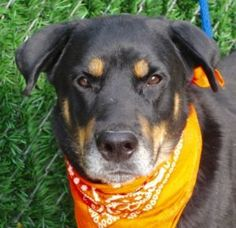 TO BE DESTROYED 11/03/16   A volunteer writes: When I first met Maraschino, he was hunched over, tail between his legs, uncertain. Yes, he is a Rottweiler with a tail. A beautiful dog he is, a bit on the thin side, wearing a mostly dark coat with golden hues, covering a slightly thin but well made body. He did not have a hard stare. He just looked wary and sad. My