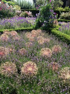 alliums and lavender - a great combination for both structure and support over…