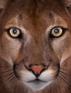 This beautiful mountain lion …
