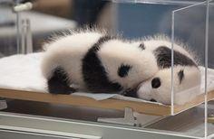 Panda sekaiy http://media-cache5.pinterest.com/upload/186899453255954503_HI6VbkHR_f.jpg