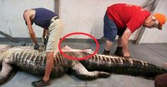 They Caught The World's Biggest Alligator, And What They Found Inside It Is CRAZY - Blooper News - News by you for you! Trending Topics, World's Biggest, Best Funny Pictures, Funny Animals, News, Weird, Hot, Humorous Animals, Hilarious Animals