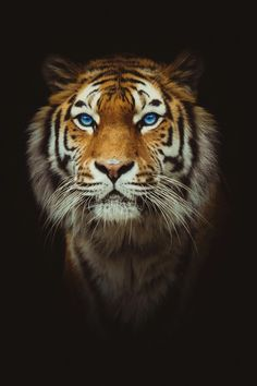 Eye of the Tiger by Marco Schnyder