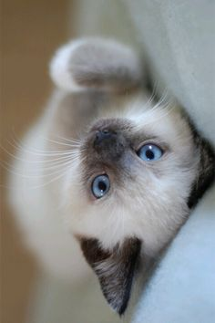 OMG!!! I have a fixed male blue point Siamese and I'm trying my best to get another female kitten--- seal point or chocolate point. I love these babies!!!