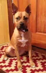 Layla is an adoptable Boxer Dog in Washington, DC.  Boxer / French Bulldog mix, female, 1-year-old, 35 pounds If you are viewing Layla on Petfinder, please click below for more information! Hi Everyon...