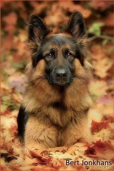 Otoño #germanshepherd