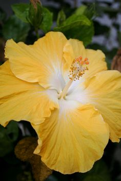 beautiful butterscotch hibiscus