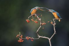 Kingfishers - Daily Dozen Photos - National Geographic Your Shot