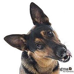 Irvine, California - German Shepherd Dog. Meet Gunner, a for adoption. https://www.adoptapet.com/pet/19946485-irvine-california-german-shepherd-dog