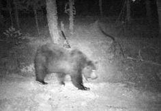 Detectado un oso pardo en las inmediaciones de Garde (Roncal) después de más de un año sin rastros