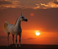 Arabian horse in golden sunset.