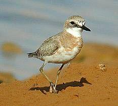 Greater Sandplover                     Charadrius Leschenaultii                 Groot Strandkiewiet