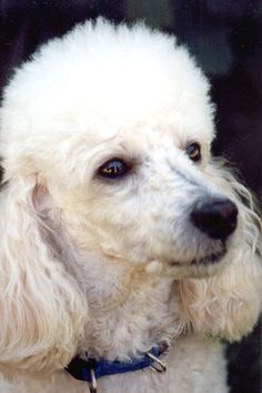 Did God create poodles? Of course, who else could make such a beautiful, lovable creature?!