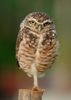 Photograph of the Day: Just an Owl Standing on One Foot
