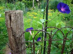 morning glories - one of my favorite flowers in the garden