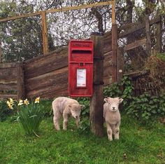 Lambs waiting for the mail | Content in a Cottage