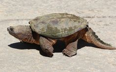 Snapping Turtle   Flickr - Photo Sharing!