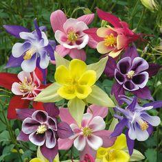 Image result for аквилегия цветок